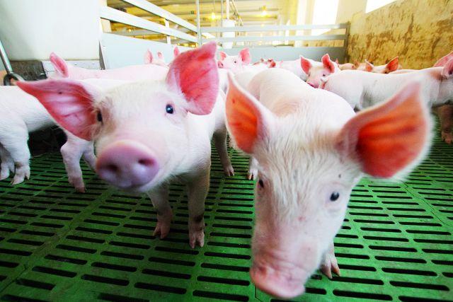 По предварительным данным, убою подвергнутся 906 свиней.