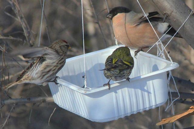 В такие морозы разные виды птиц заключают перемирие. На фото слева направо: чечетка, чиж, самка снегиря. Фото Светланы Якуповой сделано в Тракторозаводском районе Челябинска.