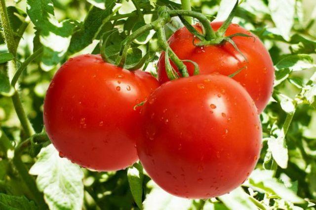 Хороший урожай томатов во многом зависит от правильного ухода.