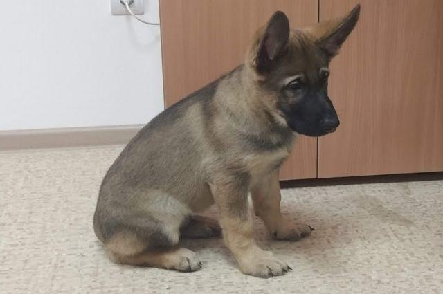 Малыша немецкой овчарки будут звать Гром.