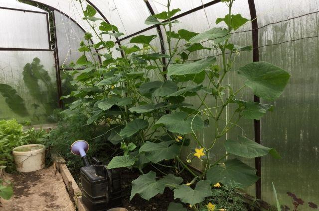 Сибирская огородница Ирина Нитова рассказала, как вырастить удивительный урожай даже в суровых природных условиях.