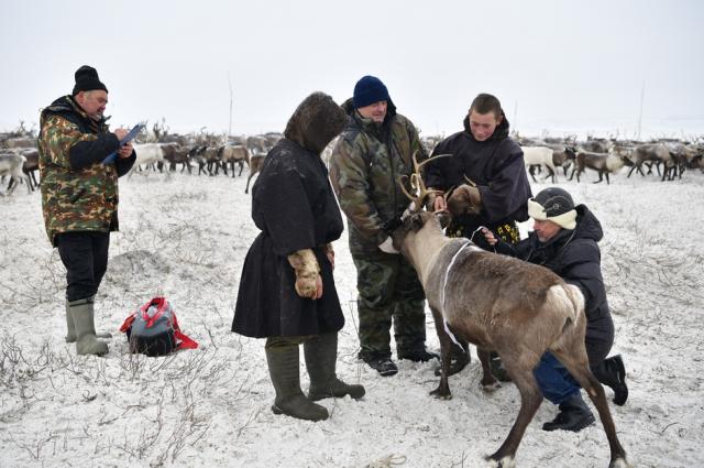 Из-за льда олени не могут добыть корм