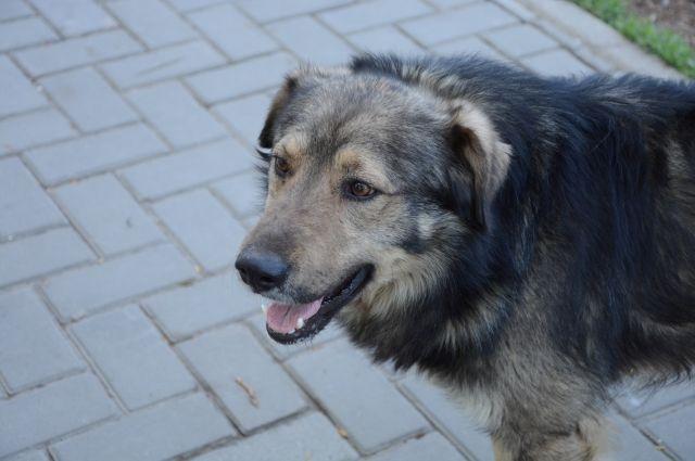 Бродячие собаки стали настоящей проблемой для Новокузнецка.