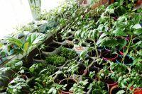 Вытягивание может быть вызвано еще и тем, что вы посадили рассаду слишком густо. Вам придется проредить растения, оставив между ними достаточное пространство.