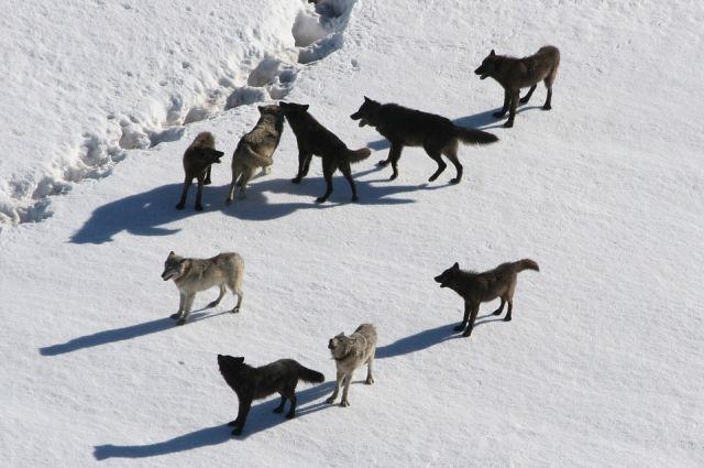 На сторожевого пса набросились шесть хищников.