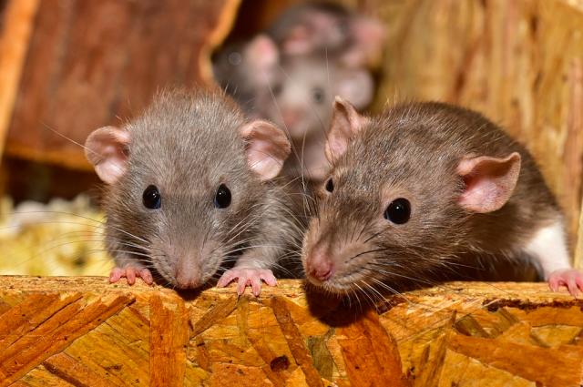 Носители иерсиниоза в городах являются домовые мыши и крысы.