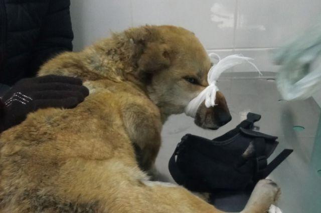 У животного многочисленные переломы таза, одну операцию сделали, нужны еще.