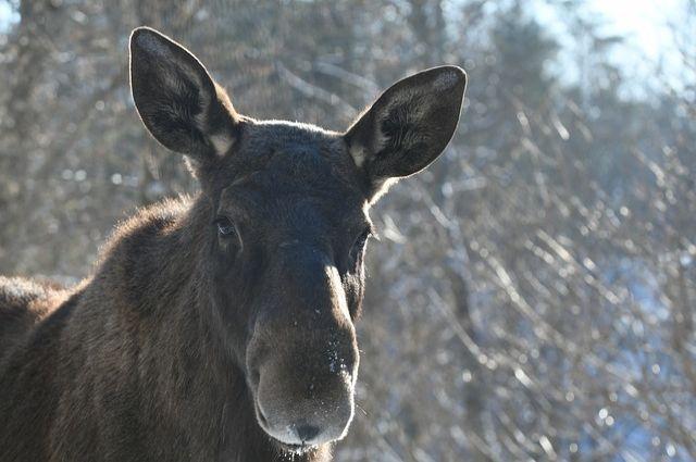 За неделю в регионе произошло два ДТП с дикими животными.