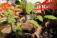 Чем подкармливать рассаду и какие удобрения вносить весной?