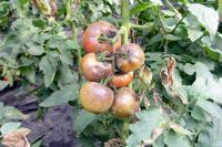 Фитофтороз может погубить как молодую рассаду, так и взрослые кусты томатов.