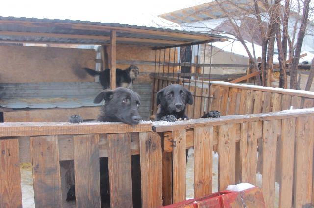 В Оренбуржье прокуратура требует от представителей власти решить вопрос с бродячими животными.