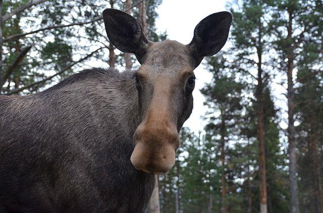В Ленобласти пенсионера задержали за убийство лося