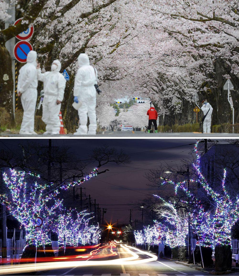 Дорога, обсаженная вишневыми деревьями (вверху), закрытая из-за утечки радиации с разрушенной цунами атомной электростанции Фукусима, и та же дорога после частичного снятия ограничений на въезд - на фото 13 января 2021 года.