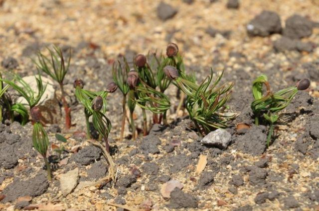 Эксперты ожидают, что взойдёт около двух миллионов хвойных деревьев.