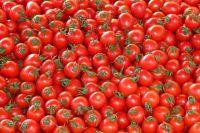 Дачница рассказала, как получить огромный урожай томатов.