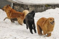 Полиция проводит проверку по факту еще одного нападения бродячих собак на оренбурженку.