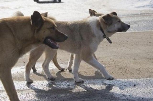 На улице Рокоссовского в областном центре бездомные собаки напали на оренбуржца.