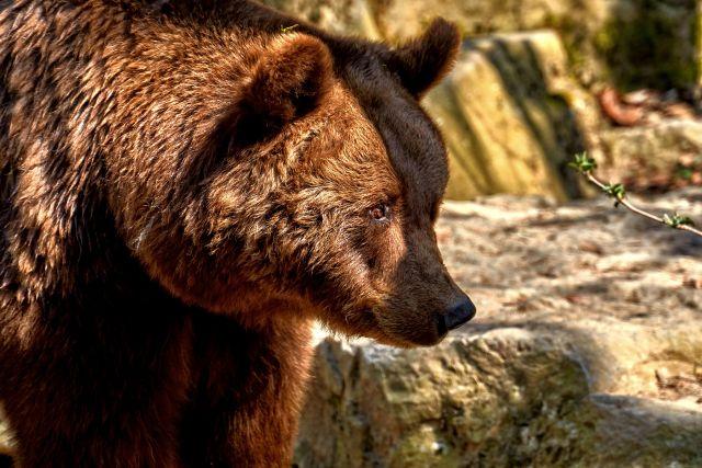 Больше всего медведей обитает в Крапивинском, Междуреченском, Новокузнецком, Таштагольском и Тисульском районах.