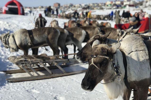 В преддверии Дня оленевода в Салехарде стартовали три конкурса