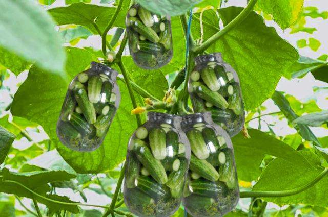 Малосольные огурцы на грядках и красивые яблоки с ГМО – это лишь малая часть мифов о еде.