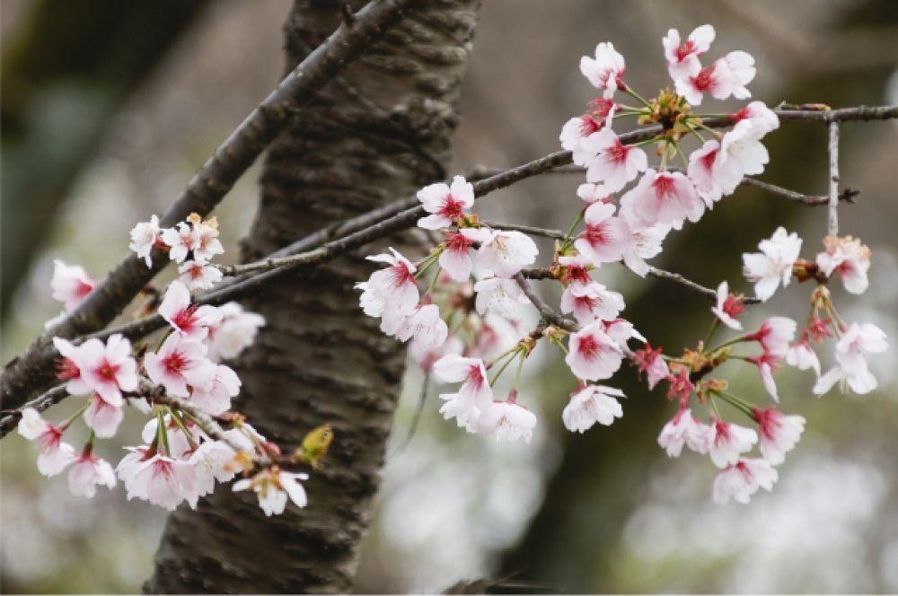 Сакура цветет всего 7-10 дей, потом лепестки опадают.