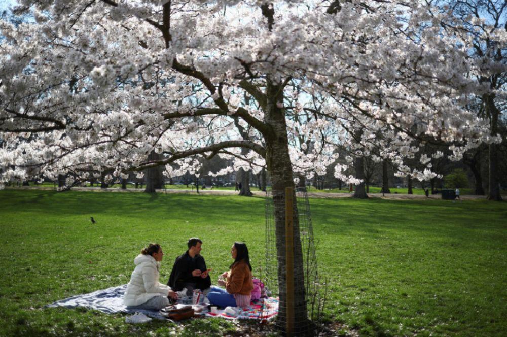 У японцев считается добрым знаком устроить пикник у цветущей сакуры.
