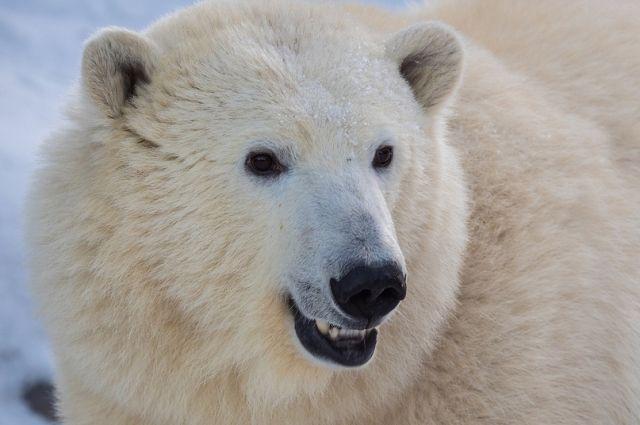 Конец истории благополучный: ни один медведь не пострадал.