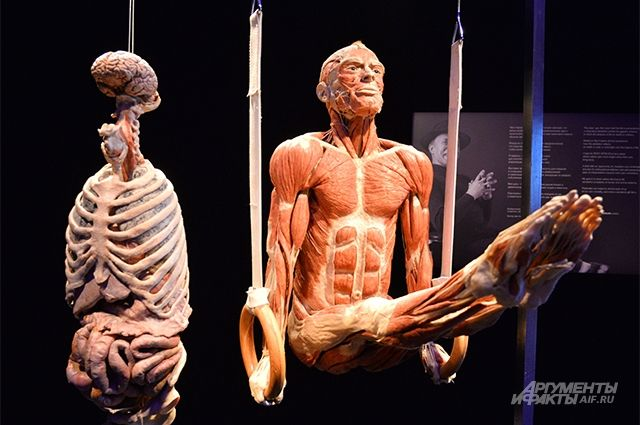 Экспонат выставки BODY WORLDS.