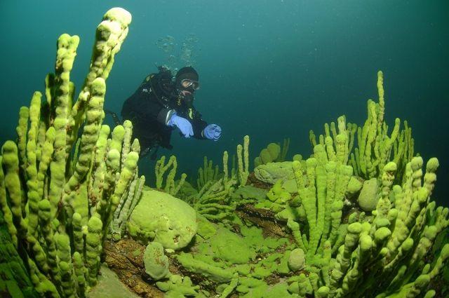 Губки встречаются в Байкале практически повсеместно на глубинах до 600 метров