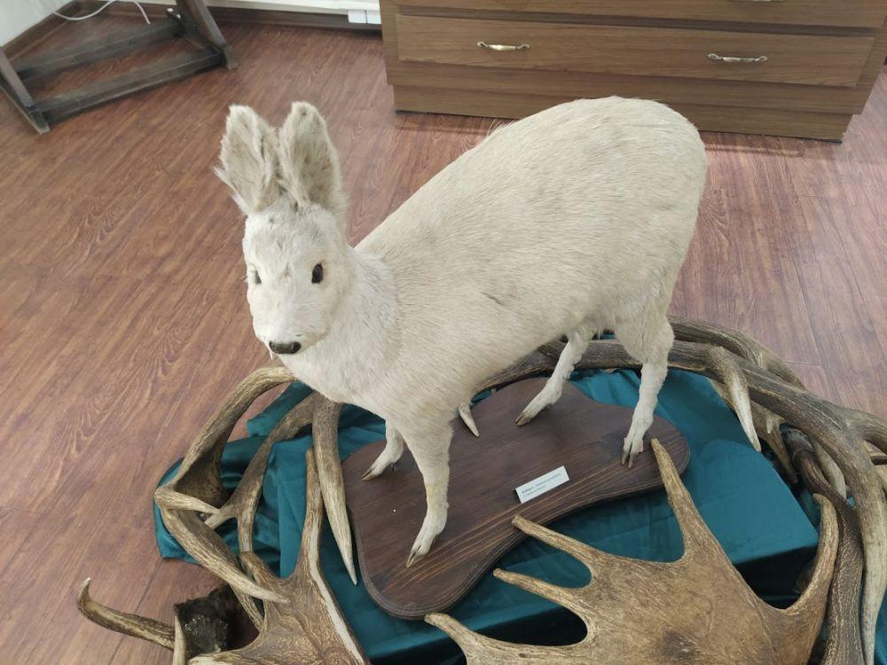 Кабарга - альбинос. Нашли это животное в Ермаковском районе.