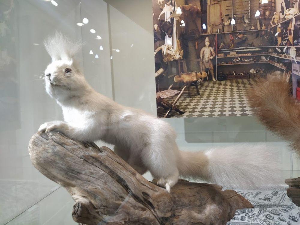 Белка - альбинос. Такие в природе встречаются очень редко и, как правило, долго не живут. Из-за их белого окраса часто становятся лёгкой добычей хищников, да к тому же эти животные имеют сопутствующие множественные патологии.