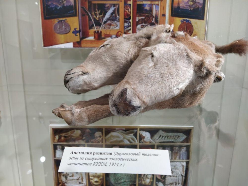 Этому теленку уже 107 лет – в 1914 году он родился мёртвым в Уярском уезде, его привезли в Красноярск, где сделали качественное чучело. Раньше оно было в экспозиции, но в последнее время тоже хранится в запасниках.