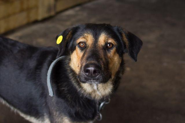 Чип в ухе собаки говорит о том, что она стерилизована, может ли она быть агрессивной, вопрос.