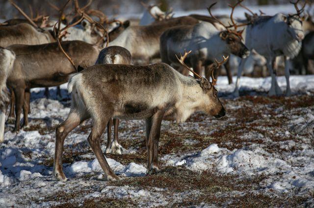 Масштабная экспедиция. Роснефть поддержала исследование северных оленей