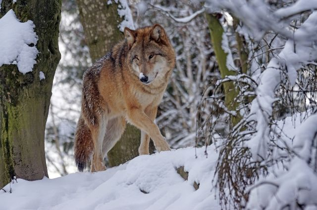 В Коми округе охотники добыли 36 хищников.