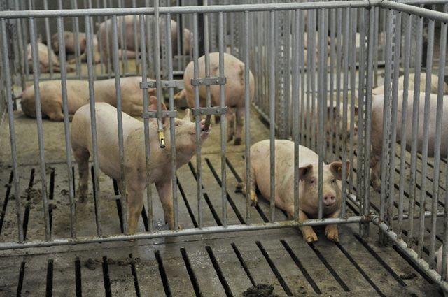 Находящийся в федеральном розыске житель Бугуруслана прятался на свинокомплексе в Башкортостане.