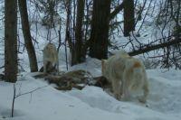 За последний месяц жертвами стаи псов стали 8 заповедных животных.
