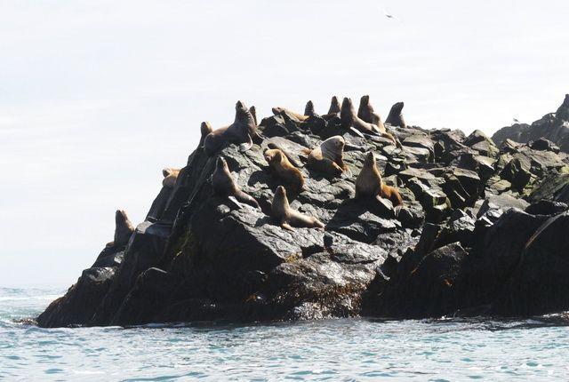 Камчатским сивучам выделят охраняемую акваторию