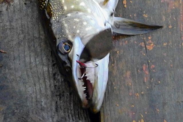 В гибели рыбы оренбуржцы винят плотину.