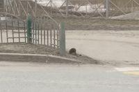 В выходные зверя видели на проезжей части у торгового центра «Сургут сити молл»