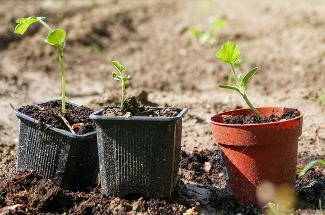 Есть несколько способов, как решить проблемы с вытянувшейся рассадой.