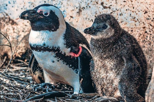 Этот пингвиненок - уже 6-ой, появившийся в Парке «Роев ручей».