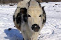 Якутская корова.