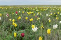 Какой штраф грозит оренбуржцам за срывание тюльпанов Шренка и других краснокнижных растений?