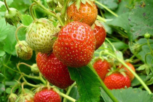 Как получить рекордный урожай садовой земляники? Советы агронома