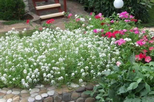 Почвопокровники– яркие коврики. Обзор лучших цветов для украшения дачи