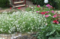 Белая лобулярия - однолетнее почвопокровное растение.