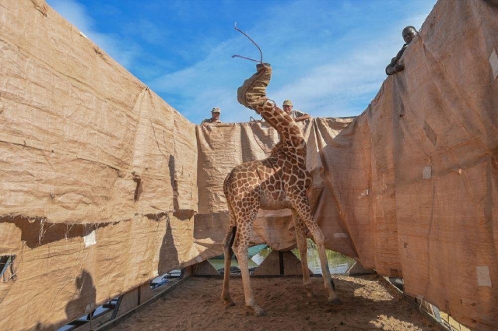 1-е место в категории «Природа». Жирафа Ротшильда перевозят в безопасное место на специально построенной барже с затопленного ливнями острова Лонгичаро в западной Кении.
