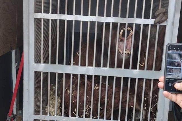 В калининградский зоопарк приехал самец орангутана