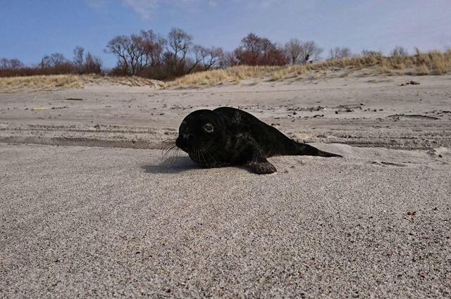 На Куршской косе посчитали тюленей